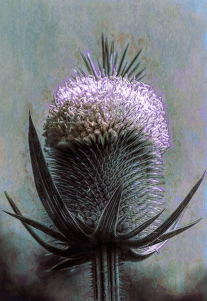 DA011,DA,Thistle in Bloom.jpg
