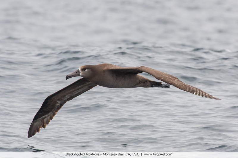 Black-footed Albatross - Monterey Bay, CA, USA