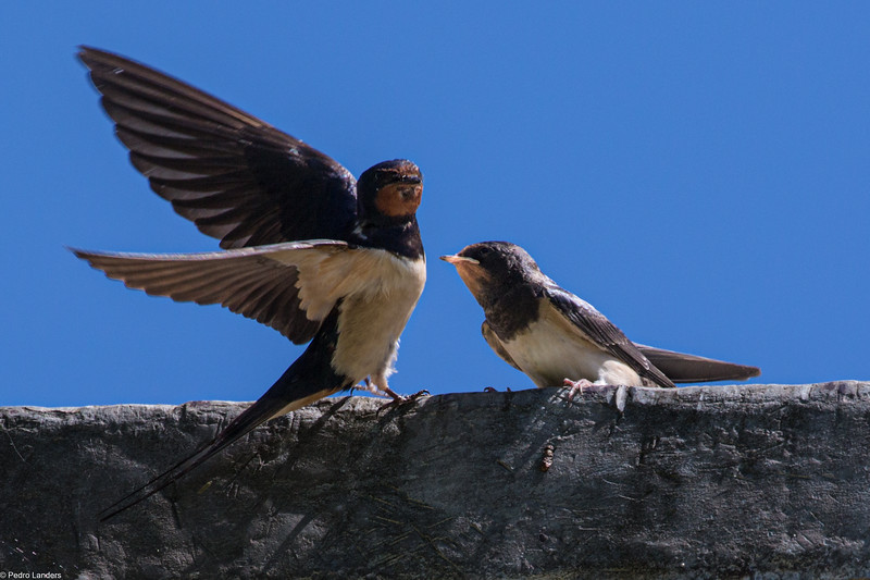 Swallow and Young