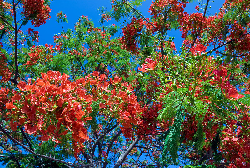 Flowering plant in Yasawa Islands, Fiji