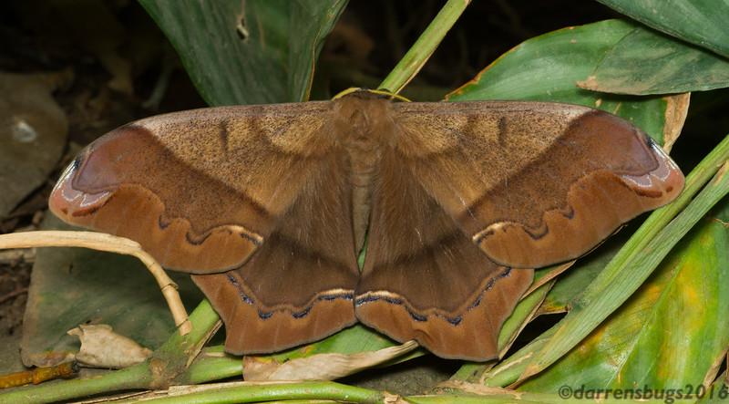 Giant Silk Moth, Arsenura armida (Saturniidae), from Costa Rica.