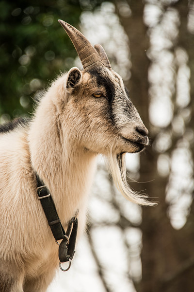 The Goat at the Chastain Park Conservancy