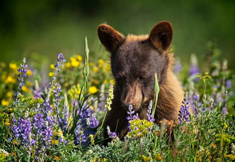 Bear Cub In Meadow Of  Wildflowers Series-  4 of 5