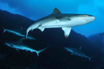 Requins divers
