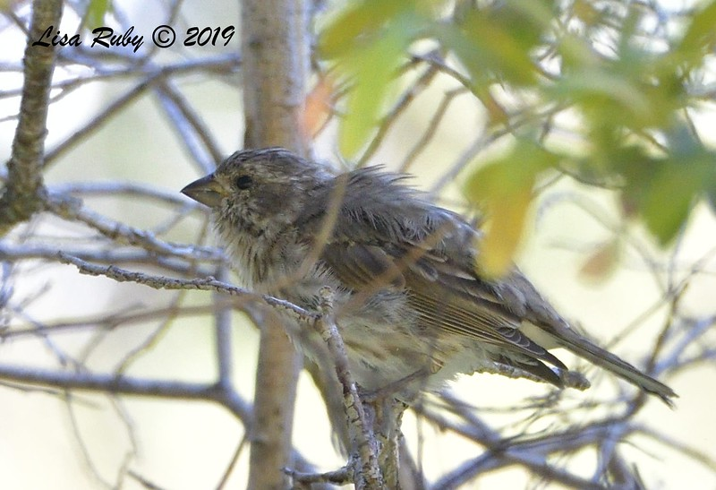 Purple Finch  - 9/1/2019 - Agua Dulce Creek, Mount Laguna
