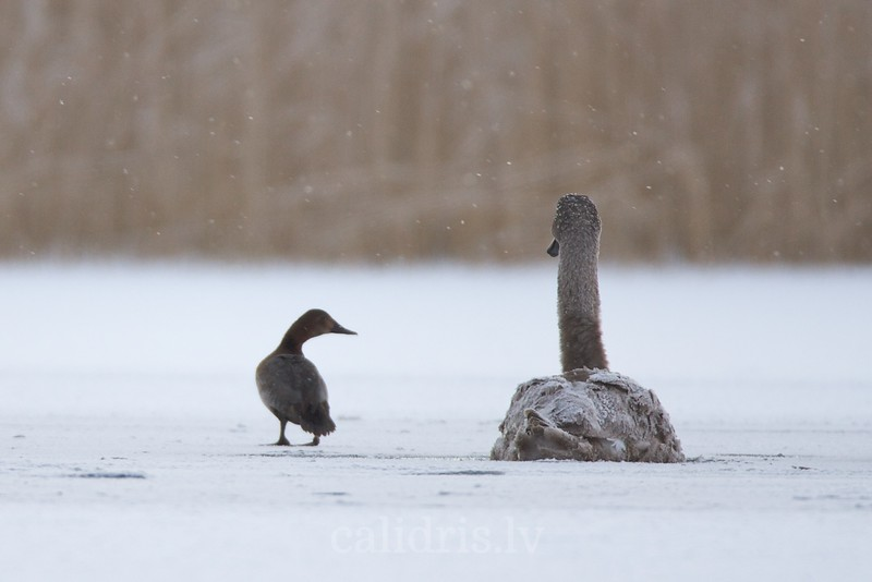 Mute Swan in winter (juvenile)