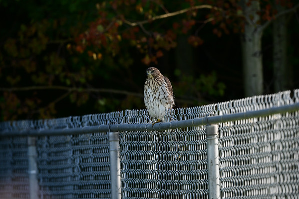 8-20-16 **Cooper's Hawk (Juvenile)
