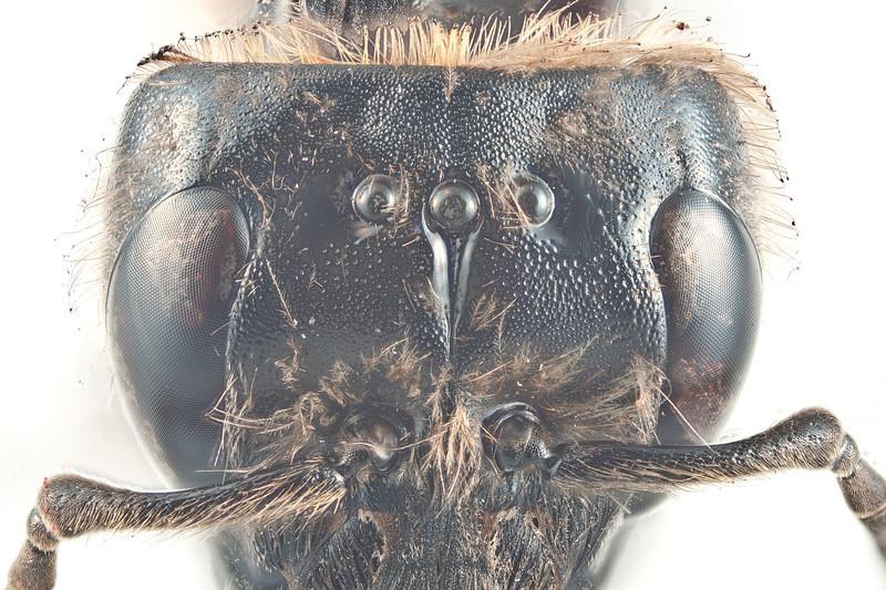 Bombus lapponicus -hode m/fure