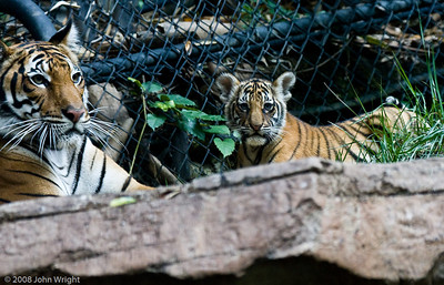 Tiger Cubs, Litter 2