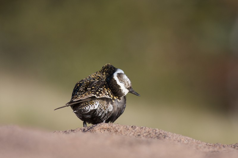 An American Golden Plover with nearly adult plumage stops over on Lake Superior on its way to Arctic breeding grounds [May; Park Point, Duluth, Minnesota]