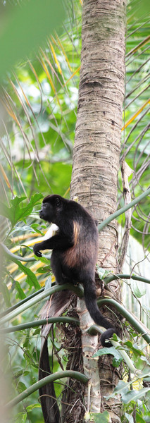costa_rica_howler_monkey_1.JPG