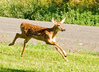Deer - White-tailed