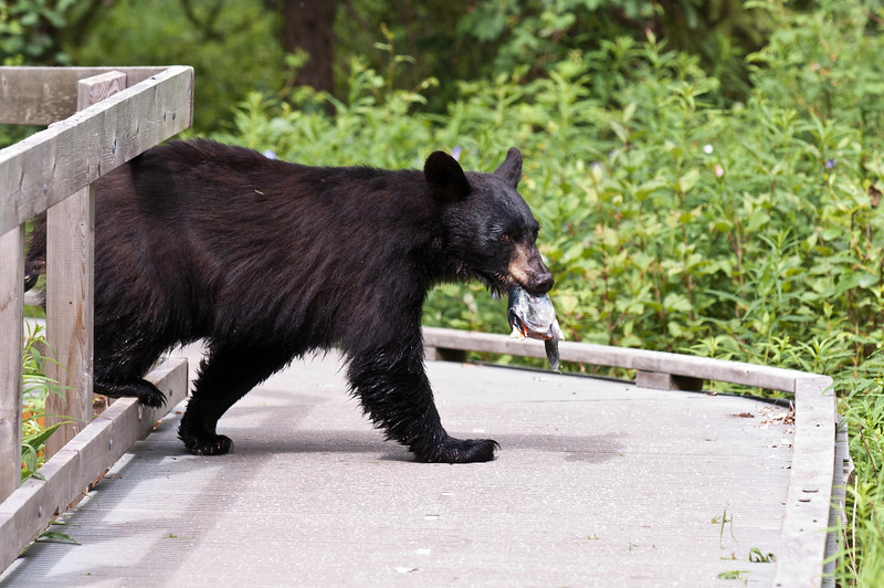 Black Bear Just Passing Through Russian River Campground, Kenai Peninsula Cooper Landing, Alaska © 2011