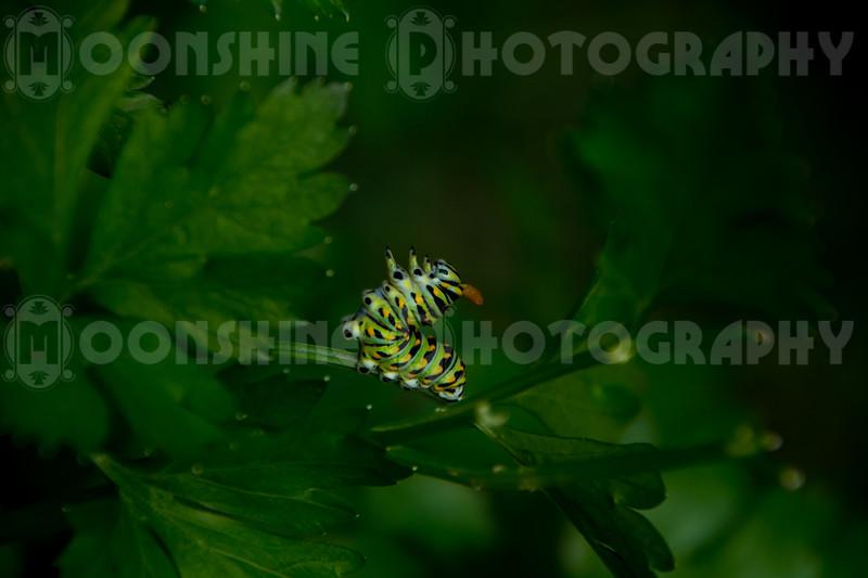 Angry Black Swallowtail Caterpillar