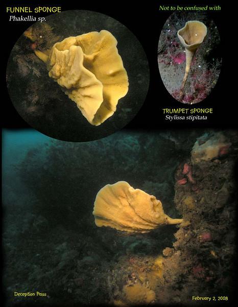 Funnel sponge S.jpg