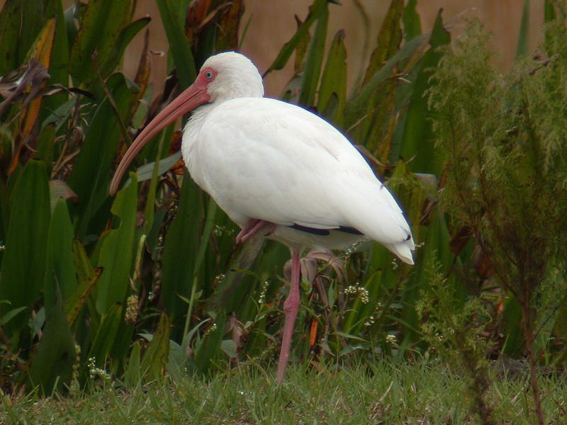 Ibis - White - Florida