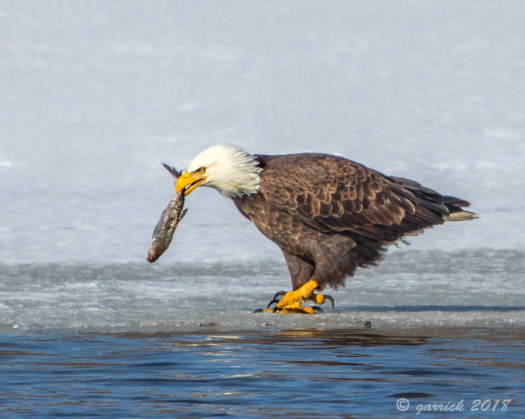 Fishing Eagle Red Wing Mn.