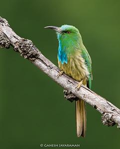 Blue-bearded Bee-eater (Nyctyornis athertoni)