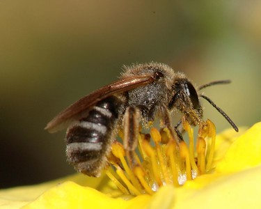Leaf-cutter Bee