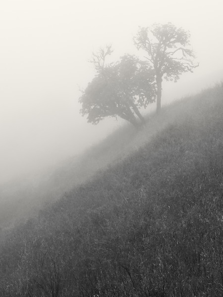 Black and white of oaks in dense fog.