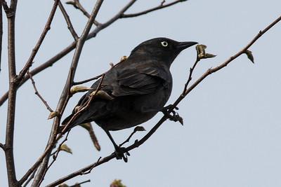 Cardinals, Buntings, Blackbirds , Orioles, Meadowlarks, Bobolinks