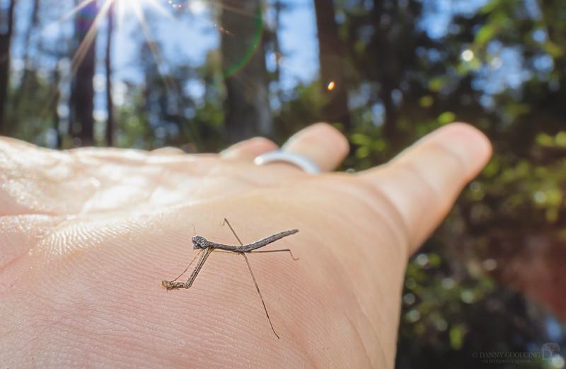 Tiny grass-like mantid nymph