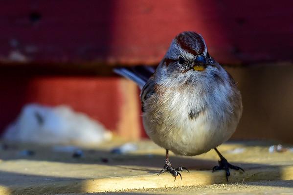12-22-15 American Tree Sparrow