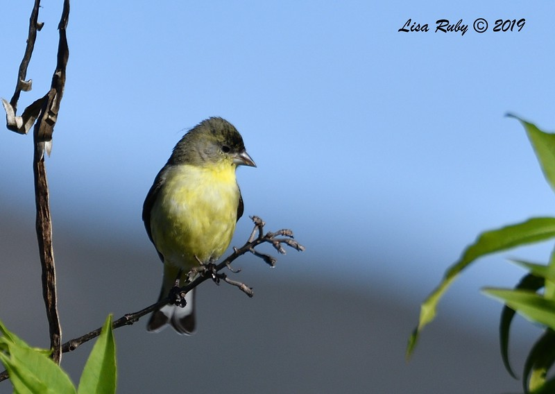 Lesser Goldfinch - 01/19/2019 - Backyard Sabre Springs