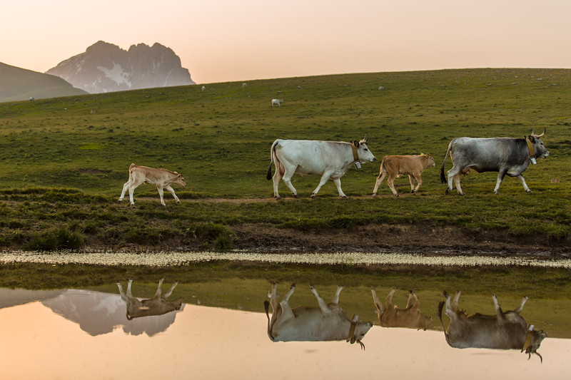Cows by the lake