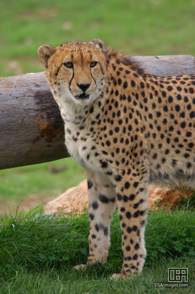 Cheetah at the Monarto Zoo