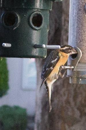 Bird TBD 2014/4/29 at feeders