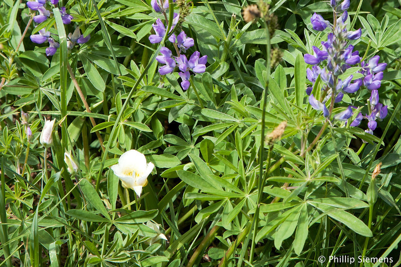 Lilly and lupine