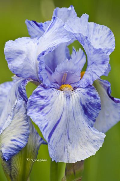 Bearded Iris Doodle Strudel