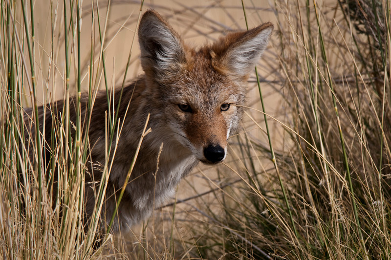 Juvenile Coyote