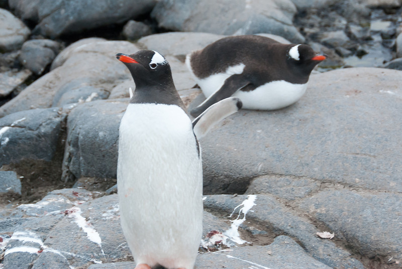 Gento penguins in Port Lockroy