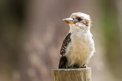 Fugle fra Tasmanien