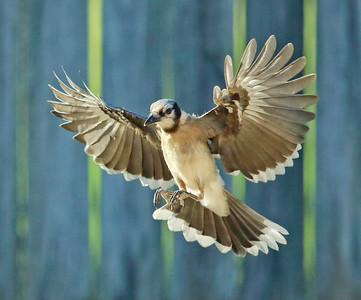 Jays/Crows