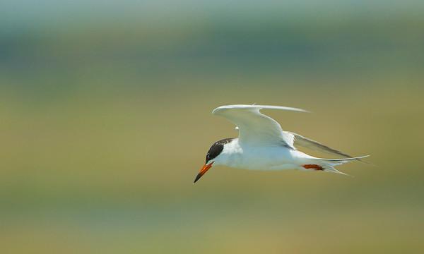 Sea Gulls and Terns