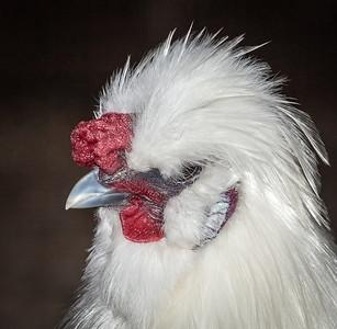 chicken_9162-
