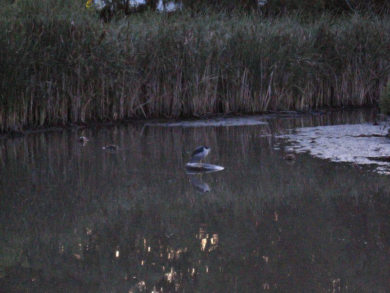 Black-Capped Night Heron