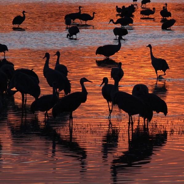 Sandhill Crane Bosque del Apache NWR Socorro NM Crane silhouettes_0007118.jpg.jpg