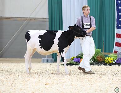AA PA Holstein Heifer Show 2018