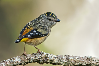 Pardalotes and Thornbills