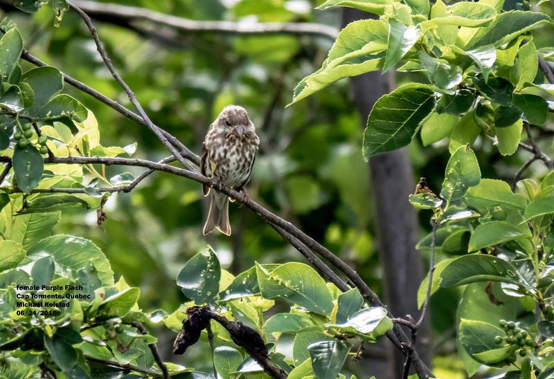 a625 1519 IMG_1083 3T fm Purple Finch Cap Tormente Quebec.jpg