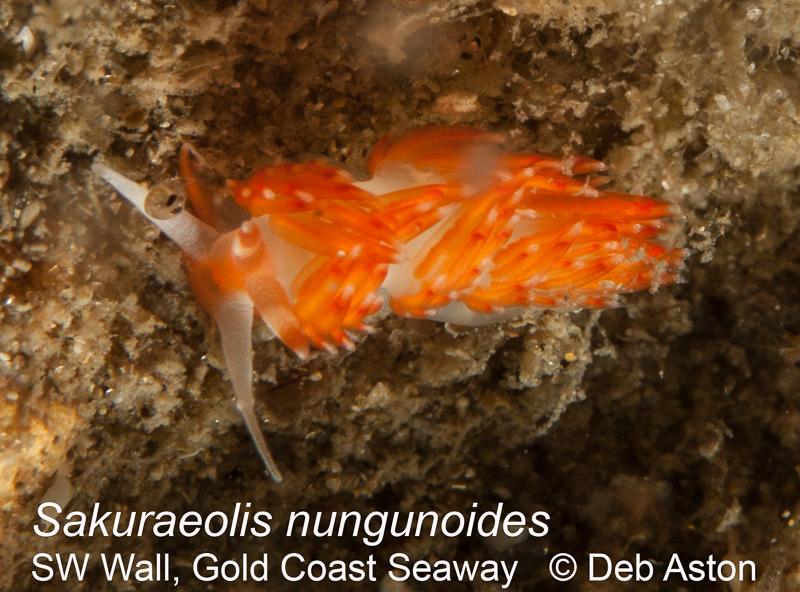 Sakuraeolis nungunoides
