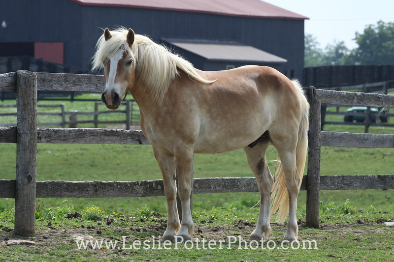 Haflinger Horse Standing By Pasture Fence