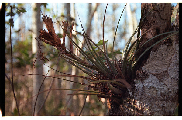 Corkscrew Swamp 2007