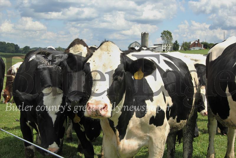 Cows enjoy a sunny day in the pasture at Thiele Farm near Saxonburg Friday. Seb Foltz/Butler Eagle