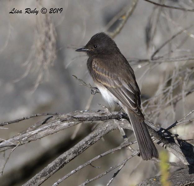Black Phoebe - 6/28/2019 - Sabre Springs Creek area
