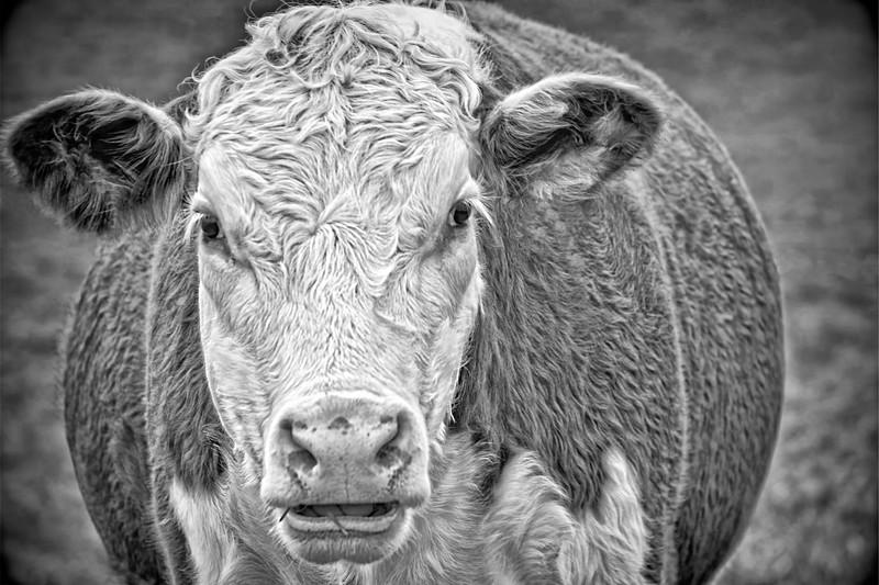 cow topaz B&W MF vignette2-2.jpg